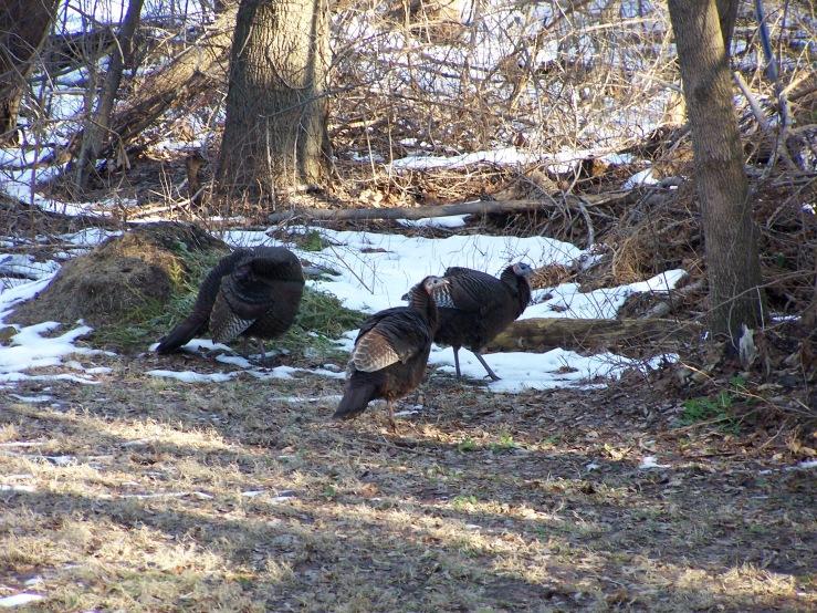 christmas_turkeys